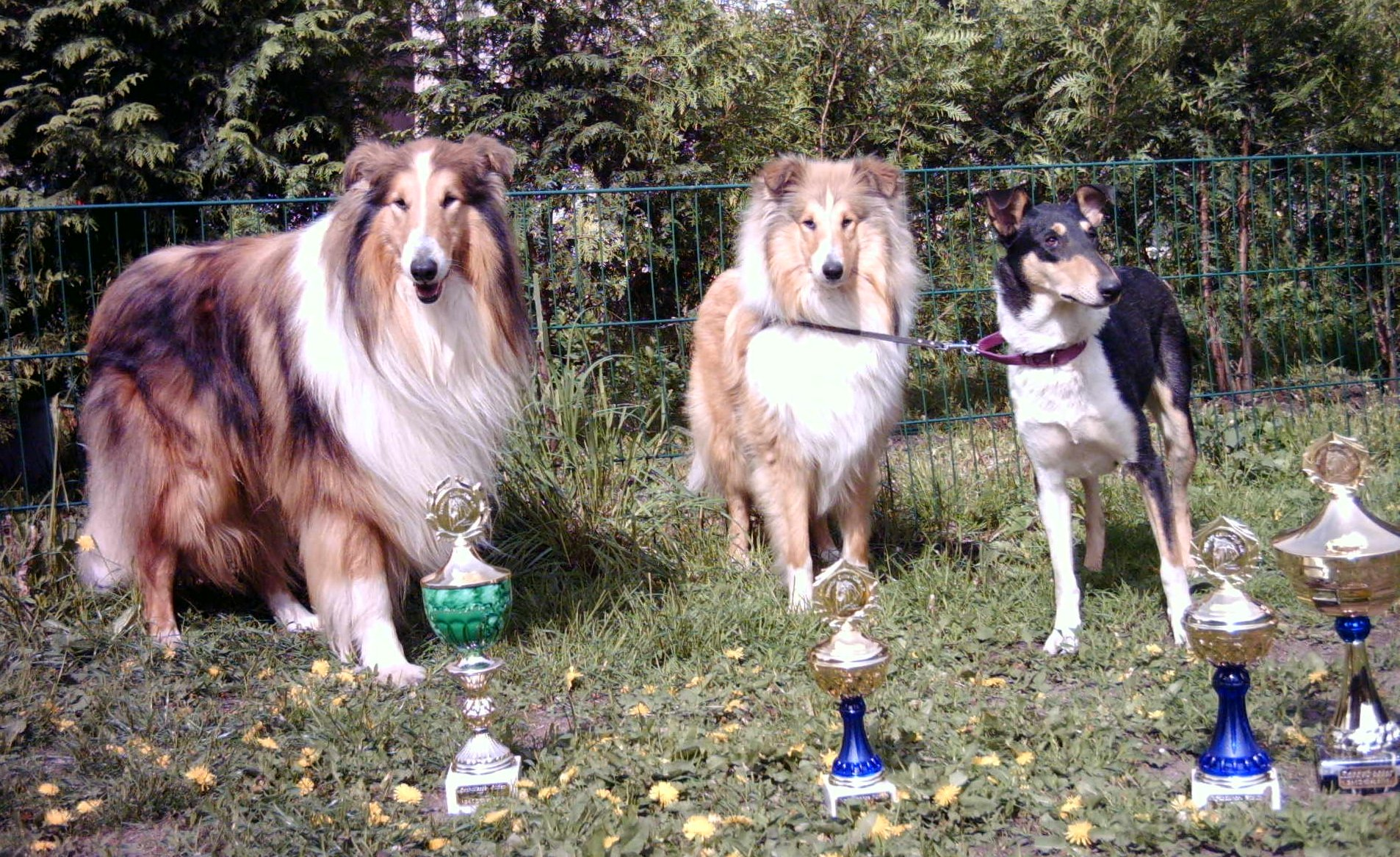 Collie Hallenausstellung , CACIB